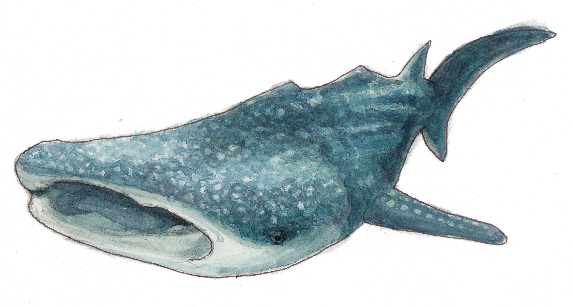 Whale shark  ,watercolor painting