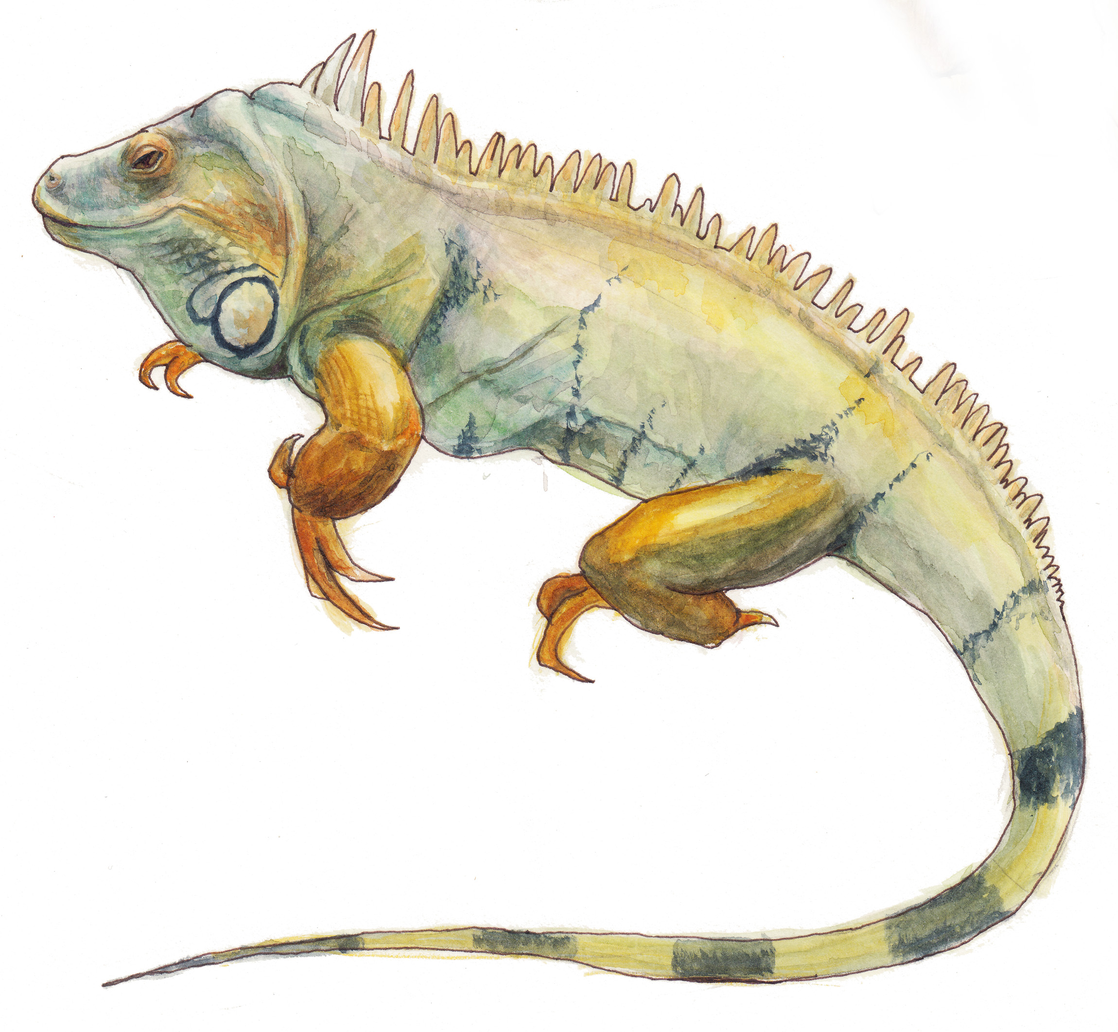 iguana  ,watercolor painting